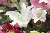 White lilly flower — Stock Photo