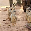 Stock Photo: Meerkat in open zoo