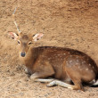 Deer sleeping — Stock Photo #41077439
