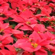 Christmas red poinsettia — Stock Photo #41077883