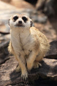 Meerkat in open zoo — Stock Photo