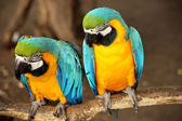 Beautiful blue and yellow macaw — Stock Photo