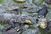 Close up crocodile masses — Stock Photo