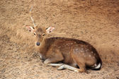 Deer sleeping — Stock Photo