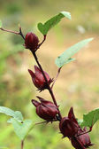 Roselle fruits on tree — Stock Photo