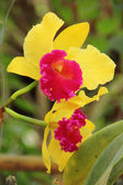 Cattleya yellow orchid flower — Stock Photo