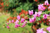 Flores Buganvílias — Fotografia Stock
