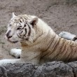 White Bengal tiger — Stock Photo #41189337