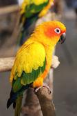 Yellow parrot — Stock Photo