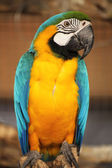 Blue and yellow macaw i — Stock Photo