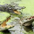 Crocodiles — Stock Photo #41430453