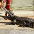 Crocodile Show — Stock Photo