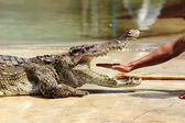 Zoo keeper in Thailand put his hand into the jaws of a crocodile — Stock Photo