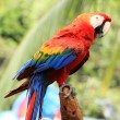Scarlet macaw — Stock Photo #41466027