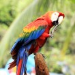 Macaw — Stock Photo #41467289