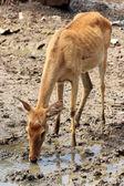 Jeleń wody pitnej — Zdjęcie stockowe