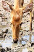 Close up female deer drinking water — Stock Photo