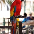Scarlet macaw — Photo #41507791