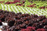 Farm of Hydroponic Plantation — Stock Photo