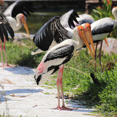 Two Painted Storks — Stock Photo