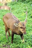Deer bucks — Stock Photo