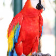 Scarlet macaw — Stock Photo #41526609