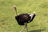 African ostrich — Stock Photo