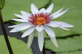 White water-lily  — Stock Photo