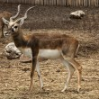 Stock Photo: Black buck