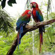Scarlet macaws — Stock Photo #41800751