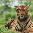 Stock Photo: Bengal Tiger.
