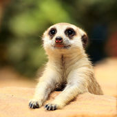 Meerkat looking — Stock Photo