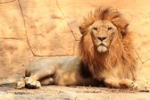 Portrait lion — Stockfoto