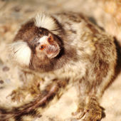 Marmoset looking — Stock Photo