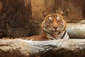 Närbild bengalisk tiger — Stockfoto