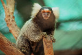 Marmoset on the tree  — Stock Photo