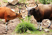 Two Wild Cattle eating grass — Stock Photo