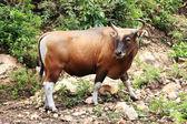 Wild Cattle — Stock Photo