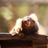 Close up Common Marmoset — Stock Photo