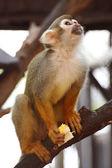 Veverka opice — Stock fotografie