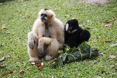 Cheeked Gibbon or Lar Gibbon sitting — Stock Photo