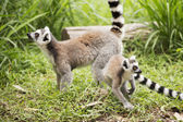 Två ring-tailed lemurer — Stockfoto
