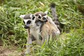 Dois lémures de cauda anelados — Foto Stock