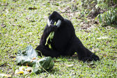 Black cheeked gibbon — Stock Photo