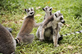 Three ring-tailed lemurs — Stock Photo