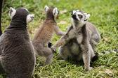 三环尾狐猴 — 图库照片