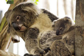 Koala bears sleeping  — Stock Photo