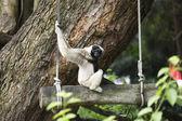 White Cheeked Gibbon  — Stock Photo