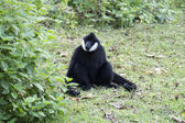 Black handed Gibbon — Foto de Stock