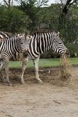 African Zebra eating grass  — Fotografia Stock